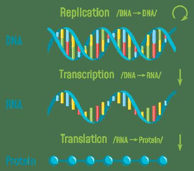 RNA to Protien CDKL5