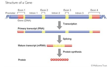 structures of the gene 1